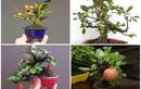 Bộ sưu tập bonsai cây ăn quả mini khiến dân chơi mê tít
