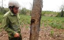 """Điều tra vụ cây rừng phòng hộ Dầu Tiếng bị """"bức tử"""" bằng chất độc"""