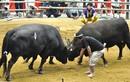 Điểm danh những tục lệ chọi trâu, chọi bò trên khắp thế giới