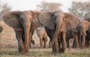 Bất ngờ cách voi tiến hóa trước nạn săn trộm