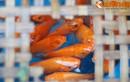 Tiết lộ bất ngờ về tục thả cá chép ngày 23 tháng Chạp