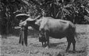 Ảnh lý thú về con trâu ở Việt Nam một thế kỷ trước