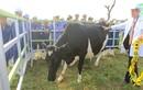 Trang trại bò sữa hữu cơ TH - Đóa hướng dương kiêu hãnh