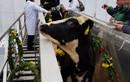 Đàn bò sữa cao sản HF nhập từ Mỹ về trang trại TH tại Moscow