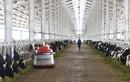 Vùng nguyên liệu sữa giúp Vinamilk dẫn đầu thị trường sữa tươi