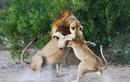 Sư tử cái đánh sư tử đực te tua