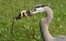 Chim săn rắn, bị rắn cuốn chặt mỏ
