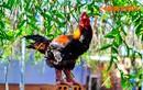 Cận cảnh gà Đông Tảo thuần chủng đang cháy hàng