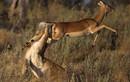Cú nhảy thần kỳ giúp linh dương thoát nanh vuốt sư tử trong nháy mắt