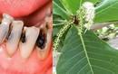 Lá bàng đun nóng: Hiệu quả từ đau răng, nhiệt miệng đến... viêm vùng kín