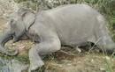 Con voi cuối cùng ở Gia Lai chết