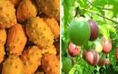 3 loại quả ở Việt Nam mọc dại đầy đường, sang nước ngoài thành của ngon vật lạ