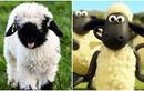 Ngắm loài cừu mũi đen là nguyên mẫu của phim hoạt hình đình đám
