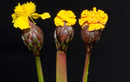 """Loài nấm tinh quái """"giả dạng"""" hoa để bẫy côn trùng"""