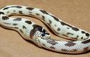 Tại sao những con rắn độc ăn thịt chính mình đến chết?