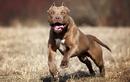 Tránh xa những giống chó hung dữ nhất thế giới nhiều nơi cấm nuôi