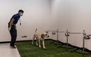 Huấn luyện chó phát hiện nhanh người mắc COVID-19 ở Thái Lan
