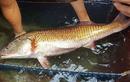 Sự thật về Sủ vàng – loài cá quý hàng tỷ đồng ở Việt Nam