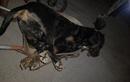 """Rắn hổ mang vào nhà cắn chó 60kg chết thảm: """"Manh động"""" sao?"""