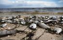 Thủy triều đỏ nguy hiểm cỡ nào khiến hàng trăm tấn cá chết thảm