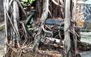 Bỏ quên xe máy dưới gốc đa, 35 năm sau thành siêu phẩm độc lạ