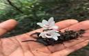 Tìm thấy hoa lan Hoàng Thảo Thạch Hộc Tía đột biến ở vực thẳm