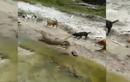 Video: Chó nhà xâu xúm tấn công kỳ đà