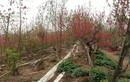Đào Nhật Tân nở đỏ vườn sau Tết Tân Sửu
