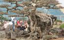 Những cây sanh thô ráp được hét giá tiền tỷ sau chục năm tạo tác