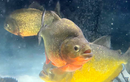Bị cấm nhưng cá piranha vẫn được bán tràn lan