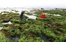 Cánh đồng rong biển tuyệt đẹp ở Ninh Thuận