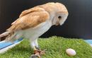 Cú đực đẻ trứng khiến nhân viên hết hồn