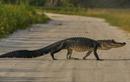 Cá sấu xuất hiện tràn lan ở bang Florida