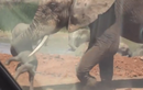 Video: Voi con bị voi đực quăng quật lung tung