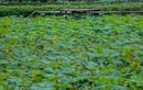 Đầm sen nổi tiếng Hà Nội bung nở, dịch vụ ăn theo ế ẩm vì COVID-19