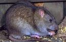 Đặc sản tăng cường sinh lực được làm từ bộ phận nhạy cảm của con chuột