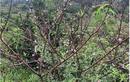 Đào rừng nở sớm đổ bộ Thủ đô, giá cả triệu đồng/cành vẫn cháy hàng