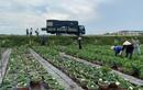 Loại cây quen thuộc đem trồng lên chậu, vài nghìn chậu cũng hết sạch