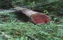 Cán bộ phá rừng và sự dối trá!