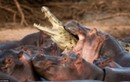 Cá sấu chết thảm vì vào nhầm lãnh địa bầy hà mã