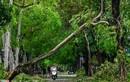 Bão chỉ cấp 8-9, vì sao 15.000 cây xanh tại Huế gãy đổ?