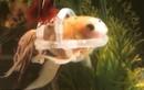 Chứng bệnh kỳ lạ khiến chú cá vàng phải mặc... áo phao