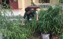 Người dân trồng 30 cây cần sa ở Thái Bình bị phát hiện