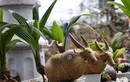 """Độc lạ chơi Tết: dừa """"hoa sen"""", bonsai dừa trâu độc lạ"""