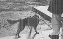 Thí nghiệm rùng rợn kiểm soát loài chó của CIA những năm 1960