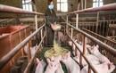 Gã khổng lồ di động Huawei chuyển sang công nghệ nuôi… lợn