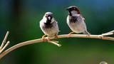 Tuổi thọ chim cảnh có thấp hơn chim ngoài tự nhiên?