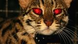 """CIA """"nhào nặn"""" mèo thành điệp viên thế nào?"""