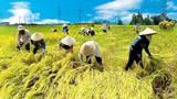Gạo Việt Nam đang rẻ nhất thế giới