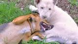 Sư tử trắng và chó, cặp bài trùng kỳ lạ